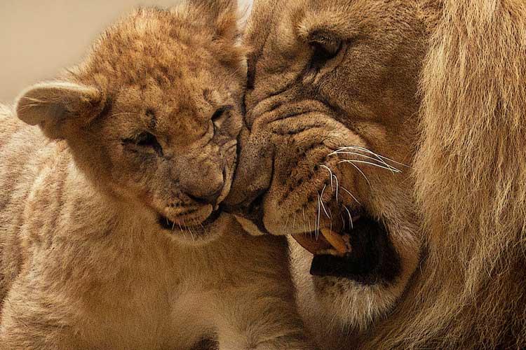 lion-animal-predator-big-cat-40803
